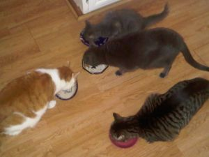 Four cats eating their num nums in an orderly fashion.